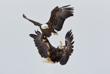 Bald Eagles Battling And Fighting In The Air In King Fu Style In Alaska