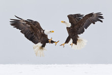 Bald Eagles Fighting In The Ai...