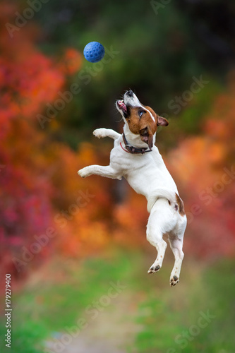 Foto  Jack russel terrier play and jump with ball in autumn forest