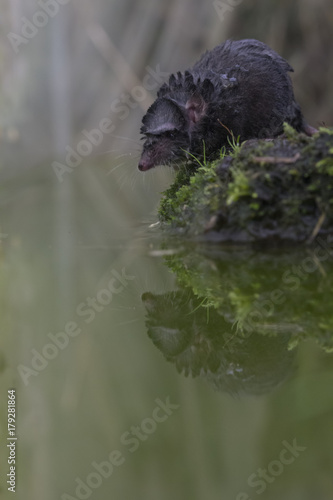Fototapeta  water shrew portrait while on ground beside water reflection.