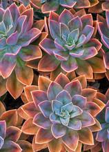 Beautiful Succulent Plants, Echeveria Succulents