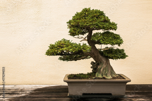 Foto auf Leinwand Bonsai Bonsai at National Arboretum
