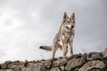 Wolf Standing On A Ruin With P...