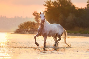 White horse runs through the water with spray at orange sunrise