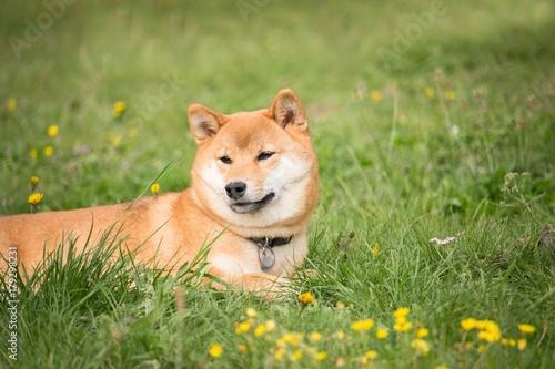 Fotografia petit chien japonais shiba inu couché dans l'herbe et se repose au soleil