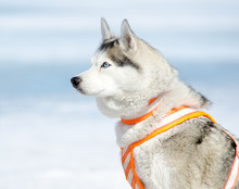Sled Dog - Siberian Husky