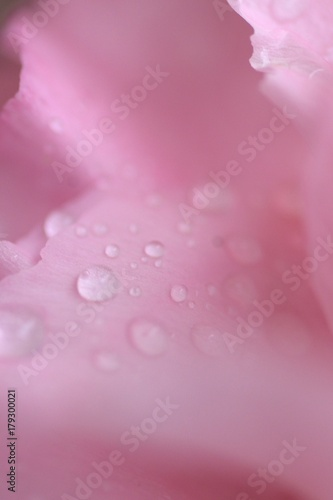 Fototapeta Macro details of Pink Rose petals with water droplets in vertical frame obraz na płótnie