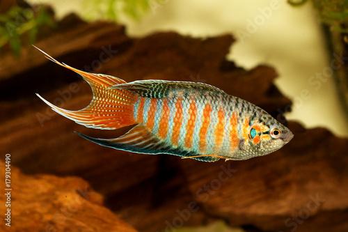 Paradise Fish Gourami Macropodus Opercularis Tropical Aquarium Fish Buy This Stock Photo And Explore Similar Images At Adobe Stock Adobe Stock