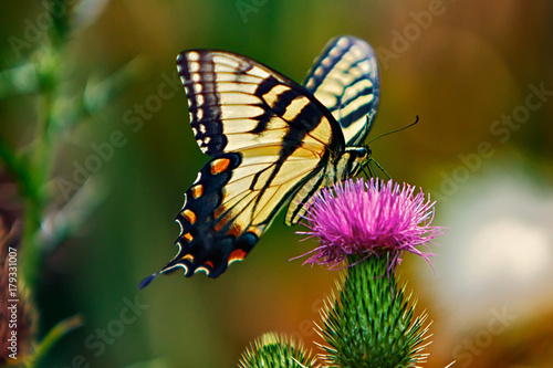 Photo Eastern Tiger Swallowtail Butterfly