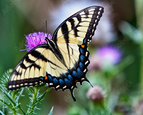 Fotomural Eastern Tiger Swallowtail Butterfly