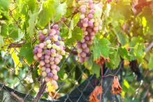 Multicolored Riping Grapes In ...
