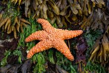 Orange Starfish On A Seaweed And Yellow Kelp