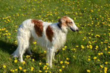 Borzoi Dog Stands In A Grass F...