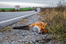 Dead Fox On The Edge Of The Road