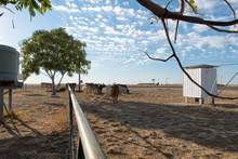 Droughtmaster Cattle Near Small Building At Corfield In Rural Queensland