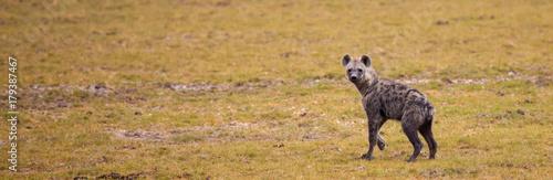 In de dag Hyena Hyena is running and watching over the grassland in Kenya