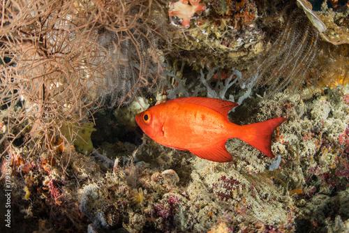 Obraz na dibondzie (fotoboard) Kolorowa bigeye rybia półksiężyc