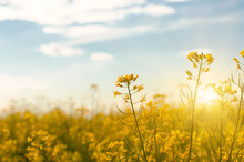 Bright Yellow Canola Field Und...