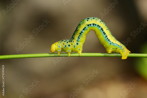 Fotografía Image of Dysphania Militaris caterpillar on nature background