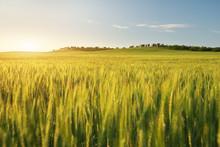 Meadow Of Wheat On Sundown