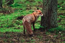 Wild Fox In The Forrest
