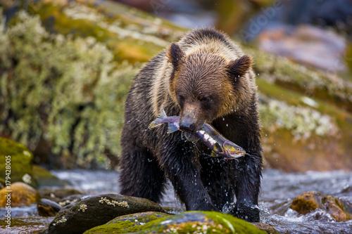 Fotografie, Obraz  Orso grizzly della costa che pesca salmoni in Canada o Alaska
