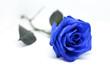 canvas print picture - Fiore di una rosa blu isolata su sfondo bianco
