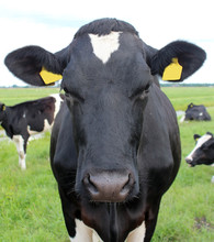 Black White Cow Head In Close Up