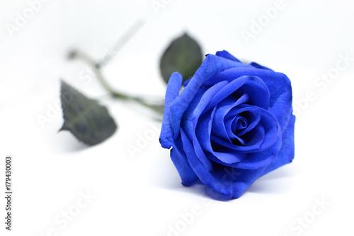 Obraz na plátně Fiore di una rosa blu isolata su sfondo bianco