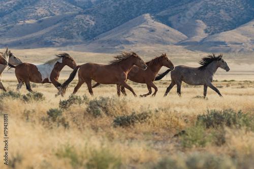 Herd of Wild Horses (mustangs) in the Utah Desert