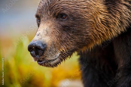 Photo Orso grizzly della costa che pesca salmoni in Canada o Alaska