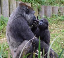 Western Lowland Gorilla And Yo...