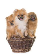 Pomeranian Spitz In Basket