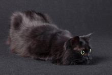 Playful Black Cat On A Dark Background, Lying Down In A Hunting Position And Preparing A Jump To Attack. Long Hair Turkish Angora Breed. Adult Female.