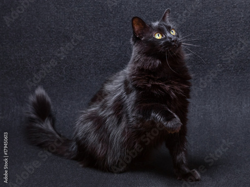Playful and curious black cat on a dark background Wallpaper Mural