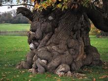 Ancient Horse Chestnut Tree Tr...