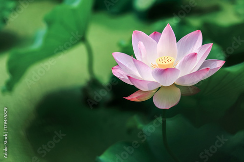 Foto op Aluminium Lotusbloem red lotus flower with green leaves