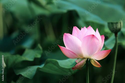 Foto op Canvas Lotusbloem blooming red lotus flower with green leaves
