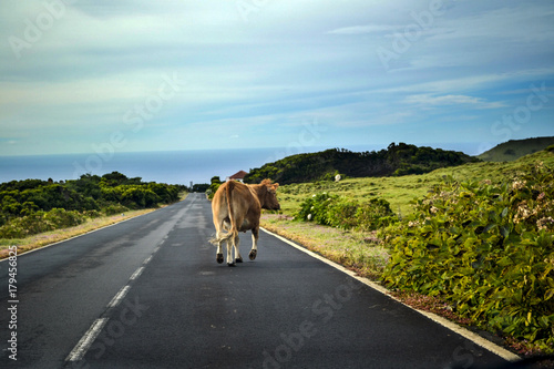 Canvas Print a cow marching along the road on Pico island on the Azores
