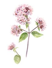 Watercolor Oregano Flower