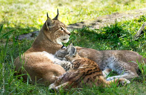 Foto auf Leinwand Luchs Mother Lynx feeding her pups in the grass, looking allert