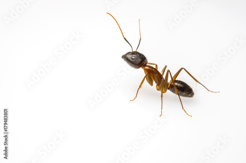 Photo close up ant isolated on white background and copy space for text