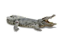 Freshwater Crocodile Isolated ...