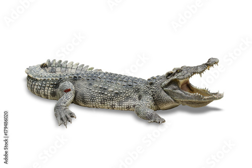 Foto op Canvas Krokodil freshwater crocodile isolated on white background. File contains a clipping path.