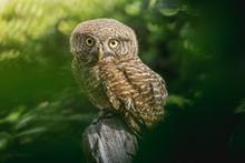 Collared Owlet (Glaucidium Bro...