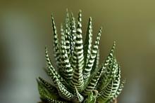 Close-up Haworthia Fasciata At Home