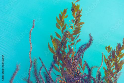 Seaweed floating on water Fototapeta