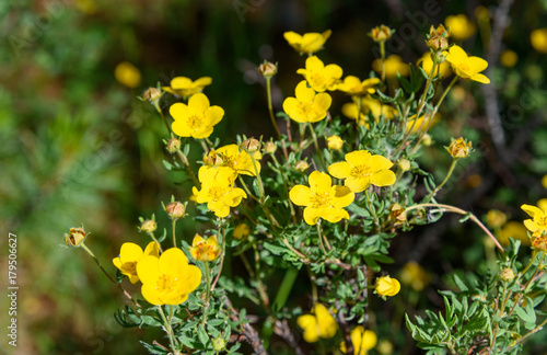 Fotografering  Dasiphora fruticosa flowers