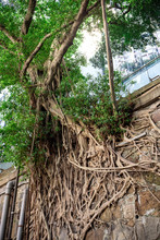 Old Tree Roots Covering Old St...