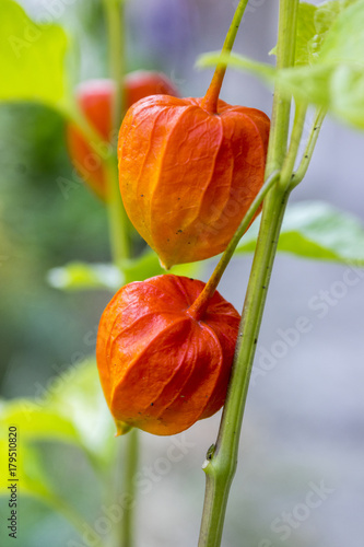 Physalis alkekengi ripening fruits, red papery covering on stem with leaves Canvas Print